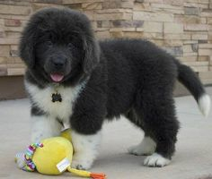 Cute newfie puppy