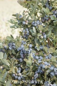 Monrovia's Bountiful Blue® Blueberry details and information. Learn more about Monrovia plants and best practices for best possible plant performance.
