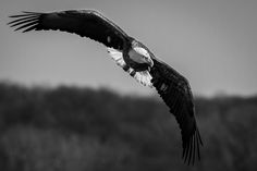 Strong American Eagle