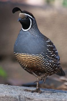 Quail are one of my favorite bird. Too bad they don't live on the West Coast :-( California Quail, a real Lady