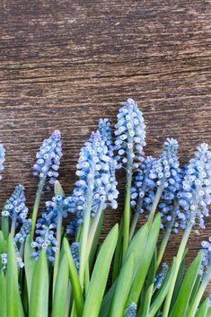 Great idea for a blue Spring wedding theme Blue Wedding Flowers, Wedding Bouquets, Calming Colors, Blue Springs, Spring Wedding, Color Schemes, Bride, Plants, Blue Flowers For Wedding