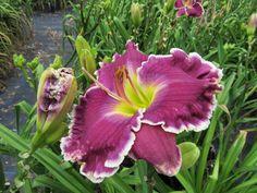 Randall Lanier Barron. Daylilies forum: Floyd Cove part 2 (All Things Plants)
