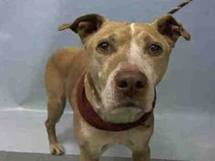 SAFE on 8/8/16  RETURN 07/22/16 --- SAFE 3-23-2016 --- SUPER URGENT Manhattan Center PROVOLONE aka CHARLIE – A1068059 a senior, neutered male, tan, pit bull mix, 12 yrs STRAY – Intake Date 03/19/2016