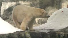 """""""O Grito do Bicho"""": Casal de Ursos-Polares faz sucesso no aquário de S...                                                                                                                                                      Mais"""