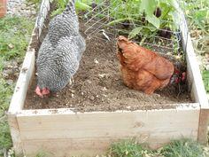 Chicken Garden Tillers!  Preparing my soil for fall seeds!