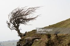 View top-quality stock photos of Windswept Tree On Hill Side Moody Sky. Find premium, high-resolution stock photography at Getty Images. Bonsai Styles, Canada Images, Bonsai Garden, Nature Tree, Photo Tree, Landscape Pictures, Tree Art, Woodland, Beautiful Pictures