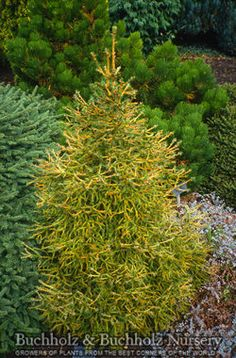 Picea abies 'Tufty' Tufty Norway Spruce Plant Description A dwarf evergreen conifer with a dense pyramidal form. Short needles are yellow-green. Nice in the rock garden or in a trough. Prefers full sun in well-drained soil. 3' tall x 1.5' wide in 10 years. Hardy to -50 degrees. USDA zone 2.  Limited availability.