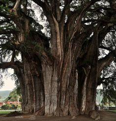 Montezuma cypress of Mexico