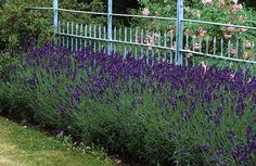 Lavender hedging - for edging around the house...
