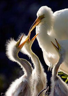 Egret Chicks, by Jeff Milsteen