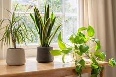 Are your house plants safe for cats? These Dracaena Marginata care tips will allow your plant and furry friend to live together safely. Covering everything you need to know. Houseplants Safe For Cats, Dracaena Plant, Dragon Tree, Corn Plant, Banana Plants, Lucky Bamboo, Bamboo Plants, House Plants, Live