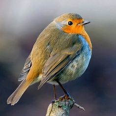 "European Robin ~ Miks' Pics ""Fowl Feathered Friends lV"" board @ http://www.pinterest.com/msmgish/fowl-feathered-friends-lv/"
