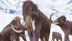 The Last Woolly Mammoths Died Of Thirst: Will History Repeat Itself?