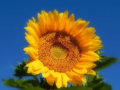 Keep Your Face To The Sun by Karen Cook #sunflower