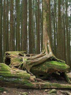 Roots over Fallen Tree.