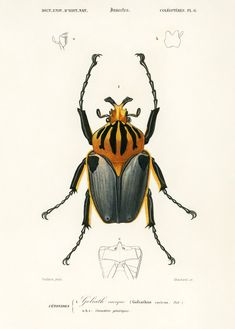 Free Public Domain Goliathus Cacicus Illustrated By Charles Dessalines D Orbigny