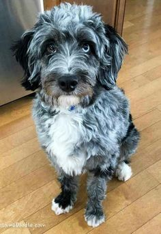 Bluez: the blue merle mini AussieDoodle Puppy - AwesomeDoodle cute puppy, puppy needs, puppy paw the blue merle mini AussieDoodle Puppy - AwesomeDoodle Animals And Pets, Baby Animals, Cute Animals, Blue Merle, Puppies And Kitties, Cute Puppies, Doggies, Beautiful Dogs, Animals Beautiful