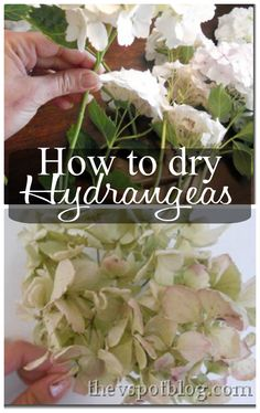 How to Dry Hydrangeas Clip hydrangeas. Strip the leaves off of the stem. Put in water. For whatever reason, if the flower dries slowly, still slurping up a little water as it dries, it seems to retain its shape and color. If you try to dry a Hydrangea without leaving the stems in water, it will shrivel and brown. When jar of water is empty, chances are that the flowers are dried and ready to be used. (If they are NOT dried, keep adding water until they are.)