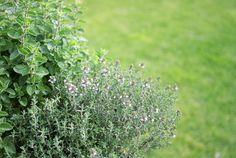 Herbs growing in border create edible landscape beauty!
