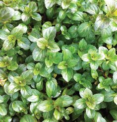 Peppermint (OG) Plugs This variety is only true to type through propogation, and is excellent for culinary or medicinal use. We recommend planting in containers to prevent these vigorous plants from becoming invasive. Organically grown.