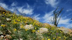 Color is popping up everywhere in the California desert, thanks to a wet winter after years of drought.