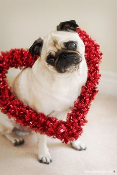 Valentine's Day Pug Happy Animals, Cute Animals, Valentines Day Dog, Valentines Surprise, Dog Tumblr, Pugs And Kisses, Pug Pictures, Funny Photos, Pug Puppies