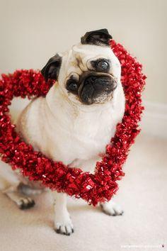 .Valentine pug! http://happypetplaytime.wix.com/happypetplaytime #happypetplaytime #pug love