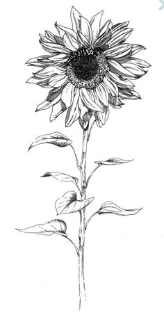 Drawing Tips sunflower drawing Sunflower Sketches, Sunflower Drawing, Sunflower Tattoos, Daisy Flower Drawing, Art Drawings Sketches, Tattoo Drawings, Pencil Drawings, Botanical Drawings, Botanical Art