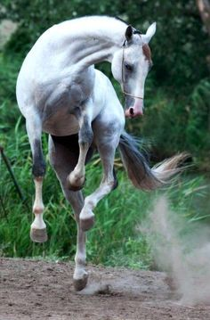 Happy Dancing Prancing horse up off all four hooves. Young playful horse kicking up his heels in the dust.. Beautiful white and grey with a pretty face.