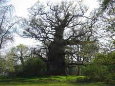 Zomereik 'Majesty' in Fredville Park, Nonington, Verenigd Koninkrijk