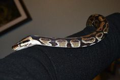 Name: 86120  Breed: Ball Python / Ball Python