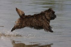 Cairn Terrier enjoying the water. No feet touching Cairn Terrier Welpen, Cairn Terrier Puppies, Little Dogs, Big Dogs, Cute Dogs, Funny Animals, Cute Animals, Dog Chews, Training Your Dog