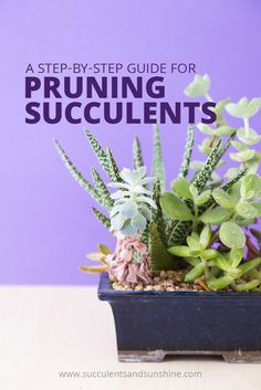 Learn how and when to prune your succulents, plus some basic maintenance tips …