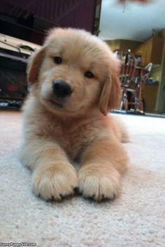I Am The Cute Puppy - funnypuppysite.com