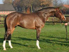 Dressage for Sale - Warmblood Adelaar - Stallion horse for sale   Benny de Ruiter Stables