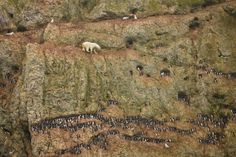 July 30, 2011 A young male polar bear climbs on a cliff face above the ocean at Ostrova Oranskie, in northern Novaya Zemlya, Russia, attempting unsuccessfully to feed on eggs from the nests of Brünnich's guillemots, in late July.