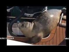 Watch Seal narrowly escapes three killer whales @ Komando Video