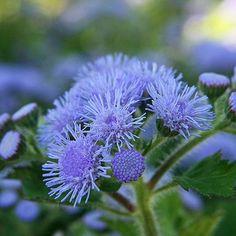 Ageratum houstonianum blue
