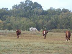 Horses Living as a Herd