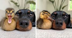 35 Totally Blessed Duck Images To Make You Smile Funny Animal Memes, Funny Animals, Cute Animals, Pigeon, Male Duck, Duck Species, Duck Pictures, Aquatic Birds, Baby Ducks