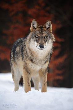 The gray wolf by Jiří Míchal - Photo 141828699 - 500px