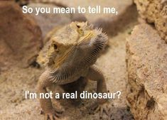 «No, dumb face, ur the love baby of a dragon and a lizard. With some beard here and there. Bearded Dragon Funny, Bearded Dragon Cage, Bearded Dragon Habitat, Les Reptiles, Cute Reptiles, Reptiles And Amphibians, Funny Animal Memes, Cute Funny Animals, Cute Baby Animals