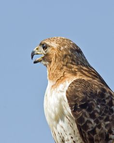 Red-tailed Hawk photo by Mike Oberg.  Taken in Loose Park Rose Garden, in Kansas City, MO