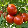 How To Grow A Tomato Plant