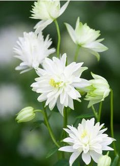 Buy Aquilegia 'Munstead White' from Sarah Raven: Sculptural, tiered flowers in this Columbine of pure greeny-white. Lovely shining out from the light shade where it thrives. Home Flowers, Cut Flowers, Spring Flowers, Plant Delivery, Border Plants, Hardy Perennials, Herbaceous Perennials, Moon Garden, Types Of Soil