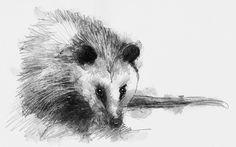 Opossum Sketch