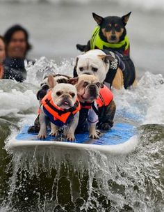 Luigi leads the way as six dogs attempt to break the Guinness World Record for most dogs on a surfboard.