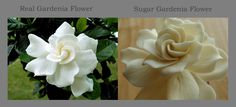 Gardenia side by side comparison real flower and sugar flower