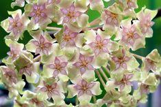 Hoya balaensis