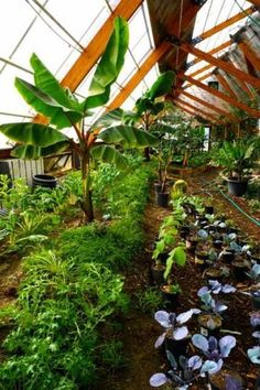 How to design a year-round solar greenhouse. Mulching is beneficial for both temperate and tropical plants Greenhouse Growing, Greenhouse Plans, Greenhouse Gardening, Outdoor Greenhouse, Tropical Greenhouses, Wooden Greenhouses, Traditional Greenhouses, Underground Greenhouse, Commercial Greenhouse